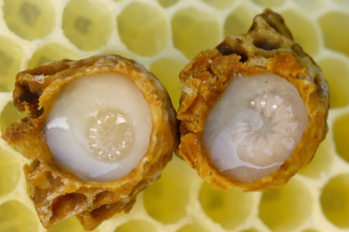 Can Royal Jelly Cure Cancer?